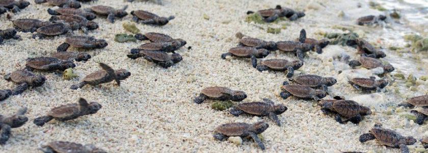 Turtle Islands – Le isole di Sandakan – 1P